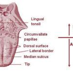 Lingual Tonsil