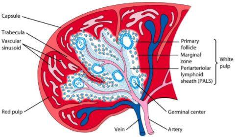 Spleen Anatomy Artery Vein