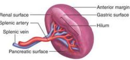 Spleen Surface Anatomy