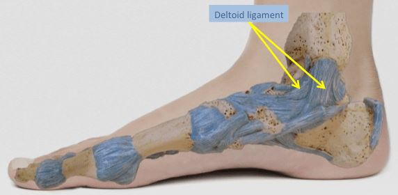 Deltoid Ligament of ankle