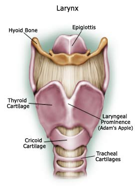 Adam's Apple Location Structure in Human Body