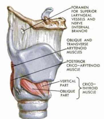 Cricoid Cartilage anatomy muscles nerve
