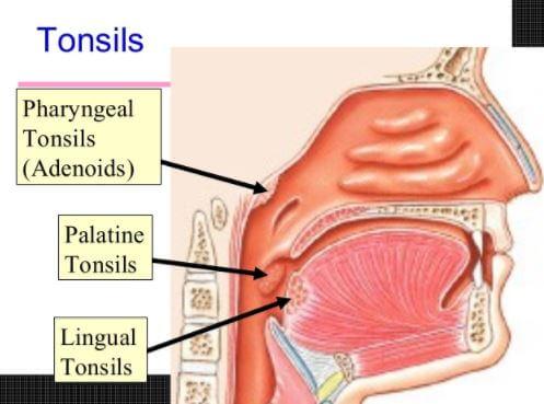 tonsils types lingual palatine pharyngeal